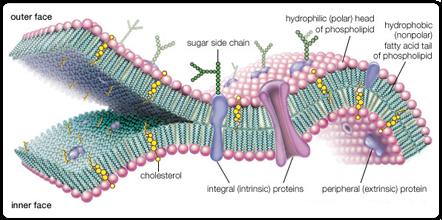 Save Oil - Omega3 fosfolipidi